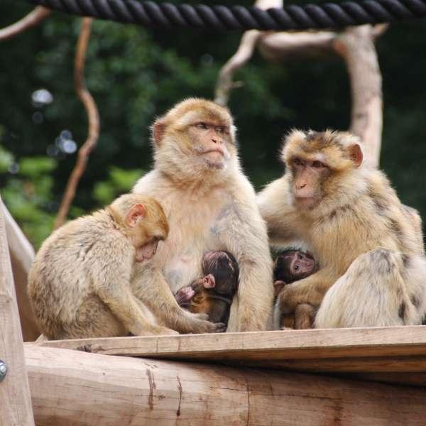 Berberaber i Tierpark Gettorf
