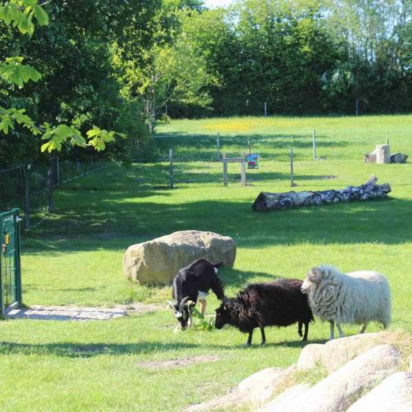 Et barn kigger på gederne og fårene i børnezoo i Barfusspark Schwackendorf