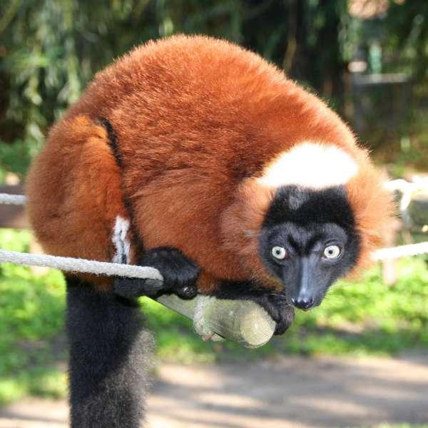 Rød vari-lemur i Tierpark Gettorf