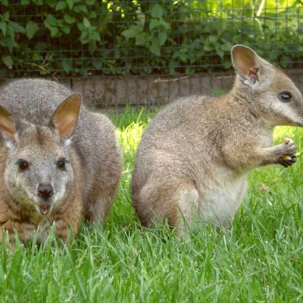 To kænguruer i Tierpark Gettorf