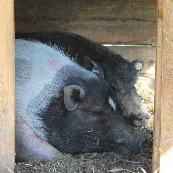 To store grise hviler i deres skur i Barfusspark Schwackendorf