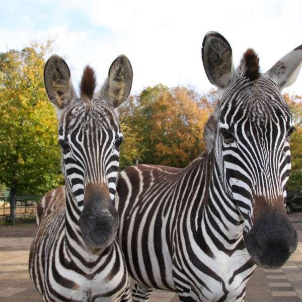 To zebraer kigger i kameraet i Tierpark Gettorf